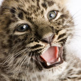 Persian leopard Cub (2 months) Stock Photos