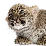 Persian leopard Cub (2 months). Leopard Cub (2 months) in front of a white background Royalty Free Stock Image