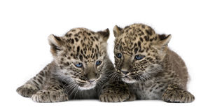 Persian leopard Cub (6 weeks). In front of a white background Royalty Free Stock Images