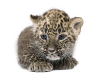 Persian leopard Cub (6 weeks). In front of a white background Royalty Free Stock Image