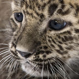Persian leopard Cub (6 weeks) Royalty Free Stock Photo