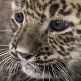 Persian leopard Cub (6 weeks) Royalty Free Stock Photo