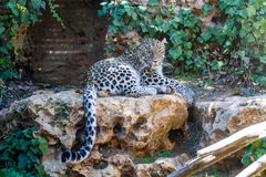 Persian Leopard, Jerusalem Biblical Zoo in Israel Stock Photography