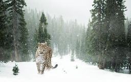 Persian Leopard, Leopard, Snow Royalty Free Stock Photos
