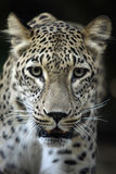 Persian leopard (Panthera pardus saxicolor). Stock Photo