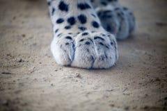Persian leopards feet Stock Photos