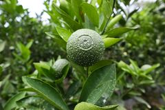 Persian lime Citrus × latifolia stock image