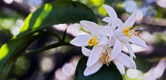 Persian lime tree in bloom. Persian lime tree, Citrus x latifolia, in bloom, one of the Citrus more commercialized in Brazil - Sao Paulo, SP, Brazil - August 28 royalty free stock image