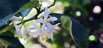 Persian lime tree in bloom. Persian lime tree, Citrus x latifolia, in bloom, one of the Citrus more commercialized in Brazil - Sao Paulo, SP, Brazil- September 3 stock image
