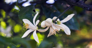 Persian Lime Tree In Bloom Stock Images
