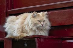 Persian longhair cat on doorstep (Felis catus) Royalty Free Stock Photo
