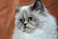 Persian Longhair cat portrait. Royalty Free Stock Image