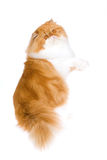 Persian longhair on hind legs Royalty Free Stock Photo
