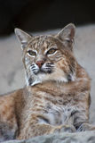 Persian lynx Royalty Free Stock Images