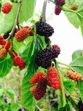 Persian Mulberry Royalty Free Stock Image
