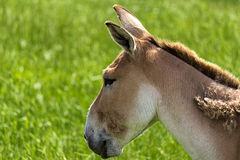 Persian Onager Headshot. A headshot of the Persian Onager Royalty Free Stock Photo
