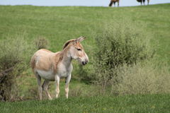 Persian Onager Royalty Free Stock Images