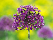 Persian Onion II. Trio of Persian Onion Flowers Against Blurred Yellow and Green Background Stock Images