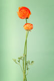 Persian orange buttercups Royalty Free Stock Photography