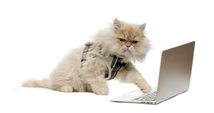 Persian pawing at a laptop Royalty Free Stock Photo