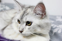 Persian plus maine coon cat lying on the bed at home. Thailand Stock Photo