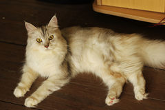Persian plus maine coon cat lying on wooden floor at home. Thailand Stock Image
