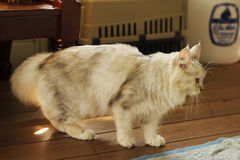 Persian plus maine coon cat standing on the wooden floor. At home Stock Photos