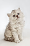 Persian pussy cat Royalty Free Stock Images