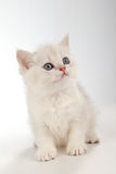 Persian pussy cat Stock Photography