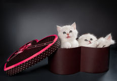 Persian pussy cats Royalty Free Stock Photos
