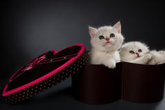 Persian cats. White Persian cats in gift container Stock Photography