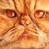 Persian red cat muzzle. With big orange eyes stock photography