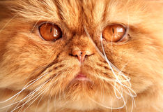 Persian red cat muzzle. With big orange eyes stock image