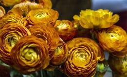 Persian rose Royalty Free Stock Photos