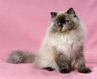 Persian seal tortie colorpoint cat Stock Photography