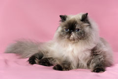 Persian seal tortie colorpoint cat Royalty Free Stock Image