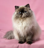Persian seal tortie colorpoint cat Royalty Free Stock Photography