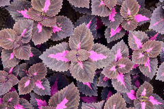 Persian Shield Stock Images