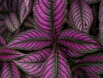 Persian Shield stock photography