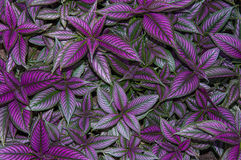 Persian Shield Leaves Royalty Free Stock Photos