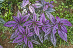 Persian Shield Plant Royalty Free Stock Photos