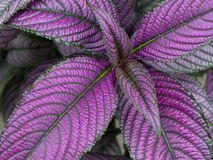 Persian Shield Plant Royalty Free Stock Photo