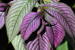 Persian shield (Strobilanthes) Royalty Free Stock Photo