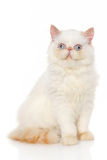 Persian shorthair cat Royalty Free Stock Photography