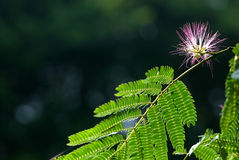 Persian silk tree Royalty Free Stock Photo
