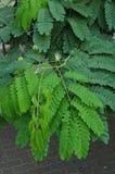 Persian Silk Tree (Albizia julibrissin) Royalty Free Stock Photos
