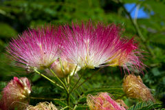 Persian silk tree (Albizia julibrissin) Royalty Free Stock Photography