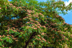 Persian silk tree (Albizia julibrissin) flowers Royalty Free Stock Images