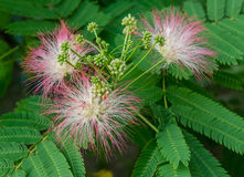 Persian Silk Tree Bloom Stock Photography