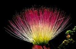 Persian silk tree flower Royalty Free Stock Photography